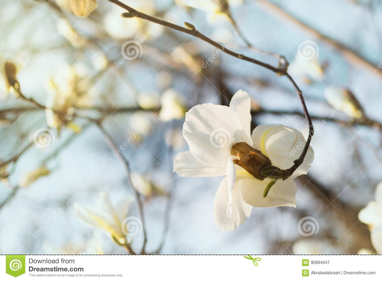 Blooming White Magnolia Flower In Blue Sky Nature Background