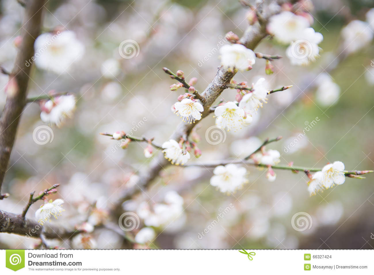 Blooming White Plum Blossom On A Branch Stock Photo Image Of