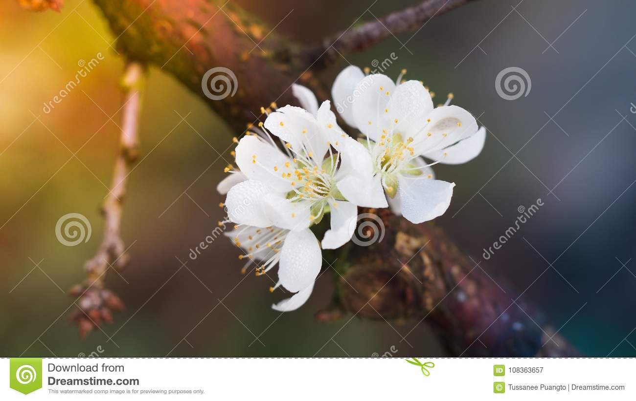 Blooming White Plum Flower Stock Image Image Of Tree Forest