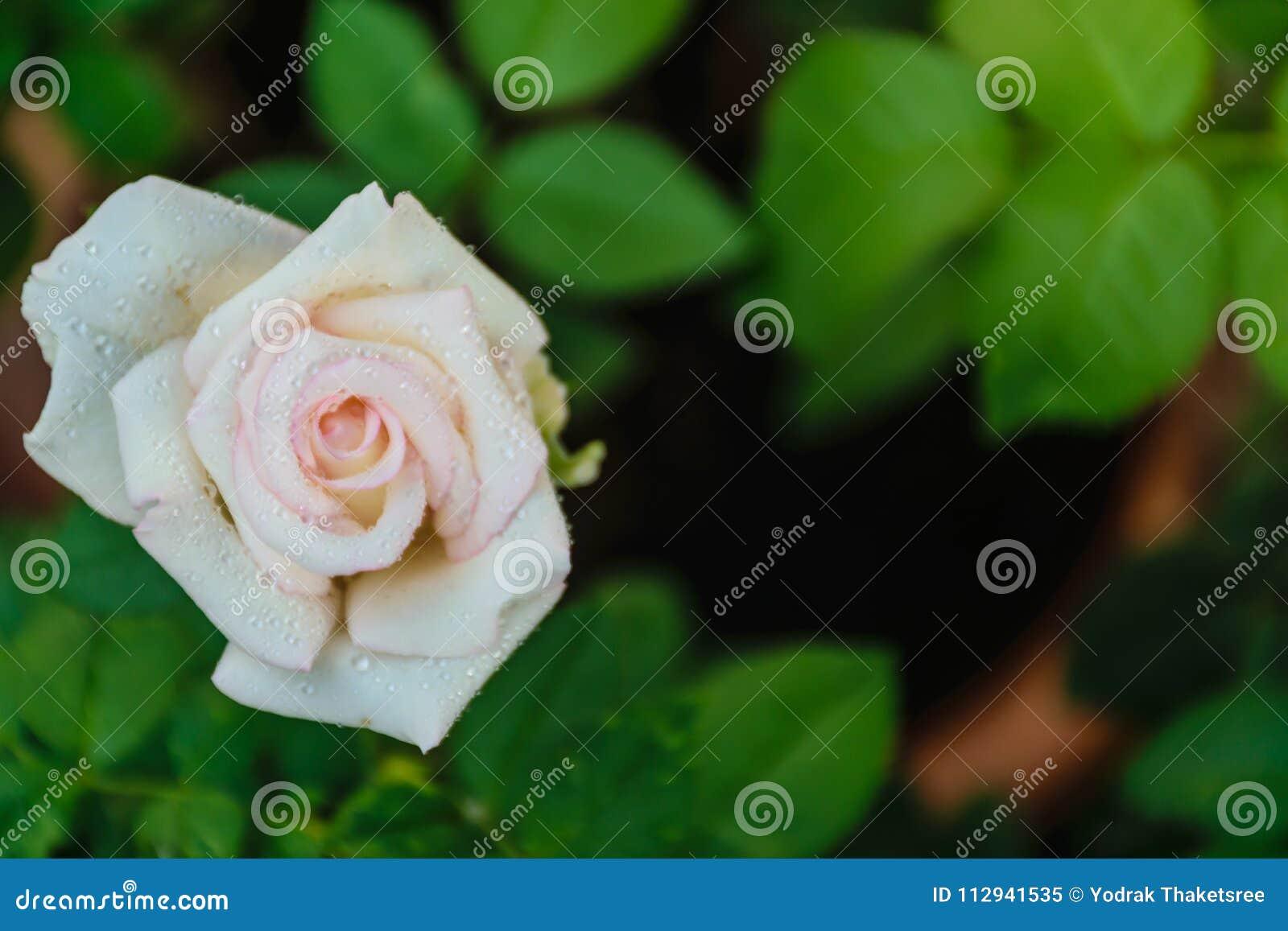 Blooming White Rose Petal Stock Image Image Of Flowers 112941535