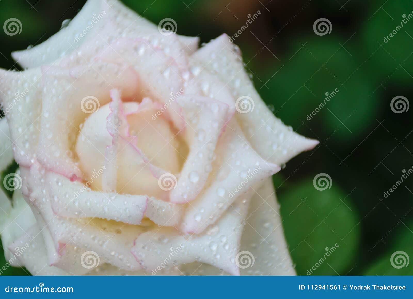 Blooming White Rose Petal Stock Image Image Of Macro 112941561