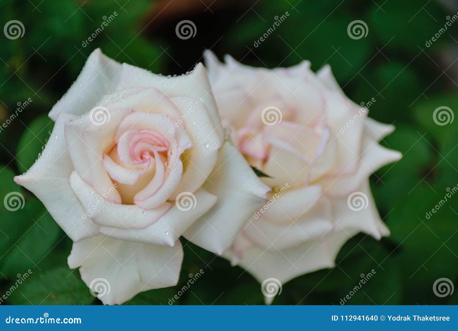 Blooming White Rose Petal Stock Photo Image Of Anniversary 112941640