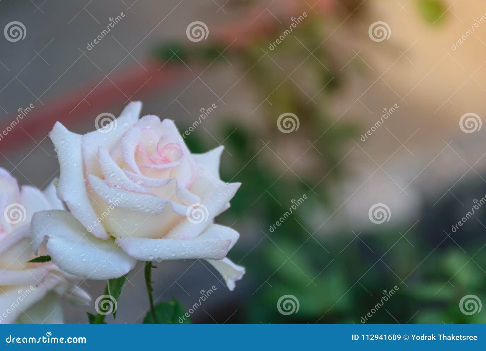 Blooming White Rose Petal Stock Image Image Of Bloom 112941609
