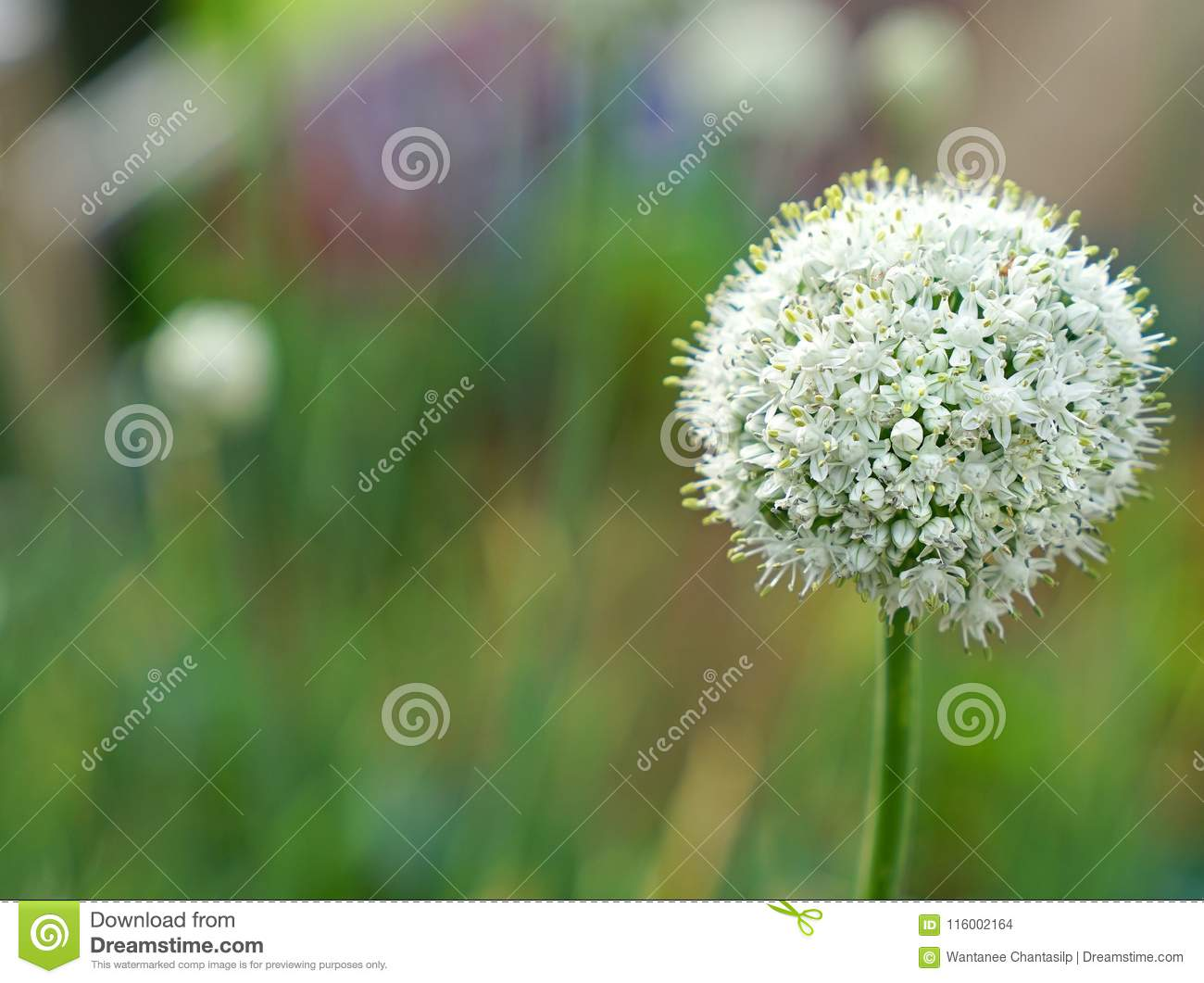 Blooming White Spring Onion Flower In Garden Stock Photo Image Of