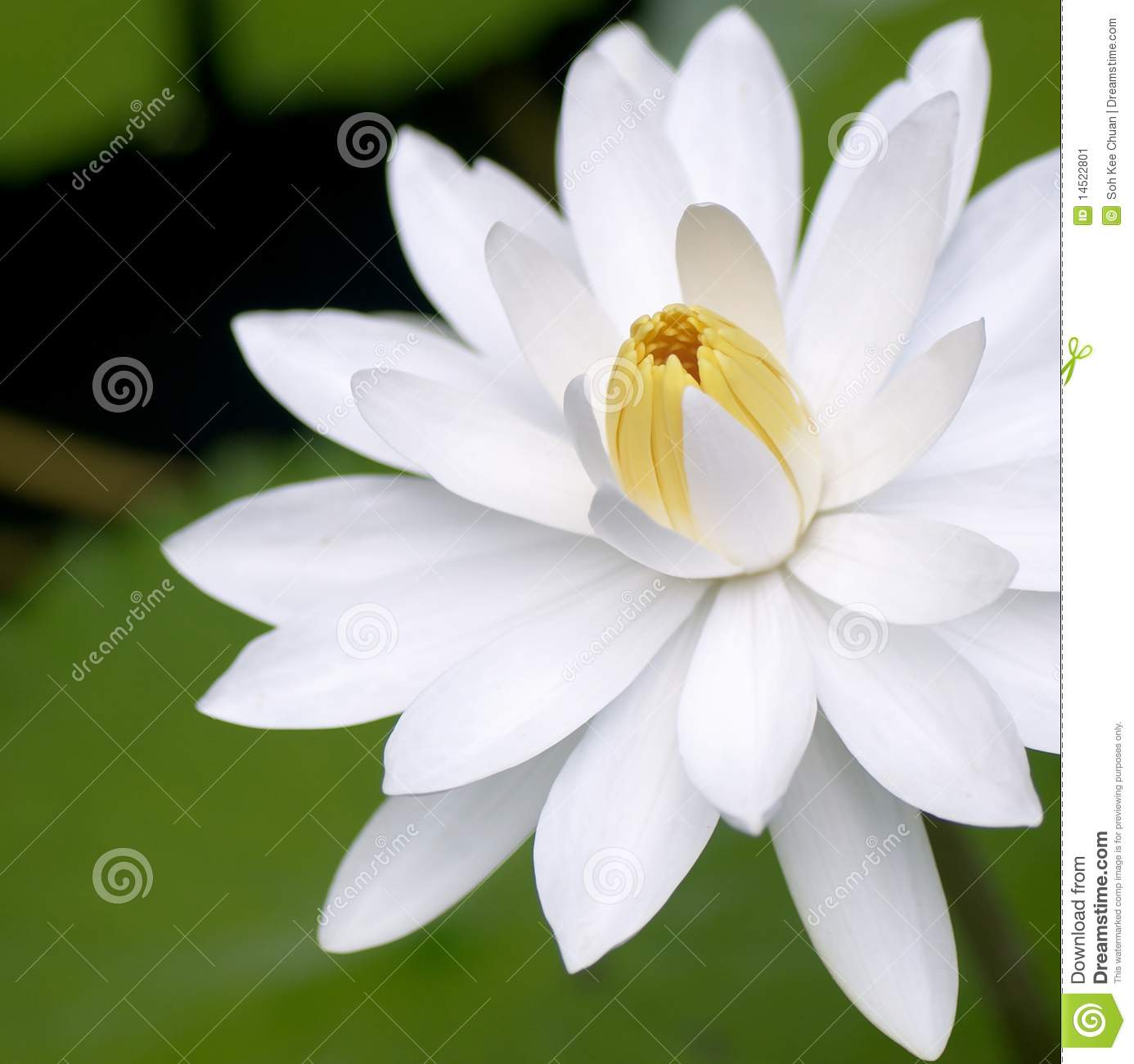 Blooming White Water Lily Flower Stock Image Image Of Blooming