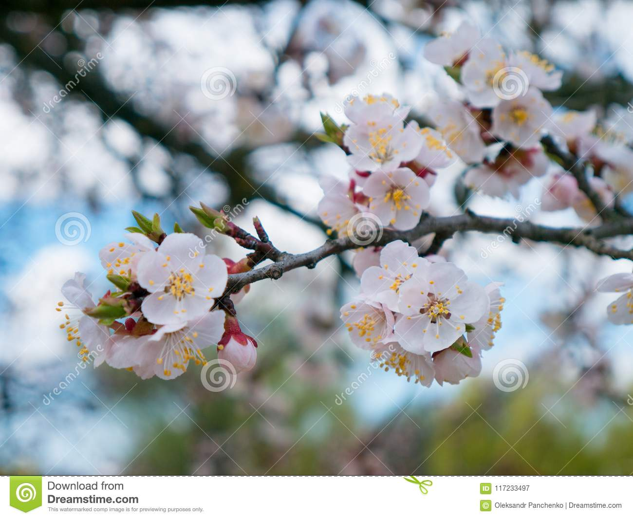 Blooming Wild Apricot In The Garden Spring Flowering Trees Pol