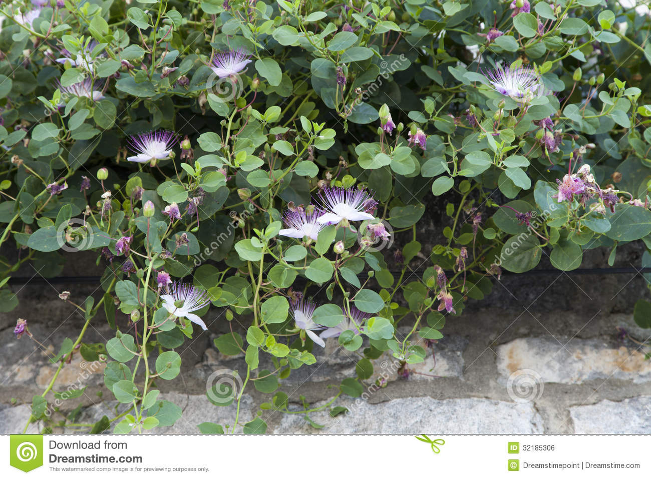 Blooming Wild Growing Caper Shrub Stock Photo Image Of