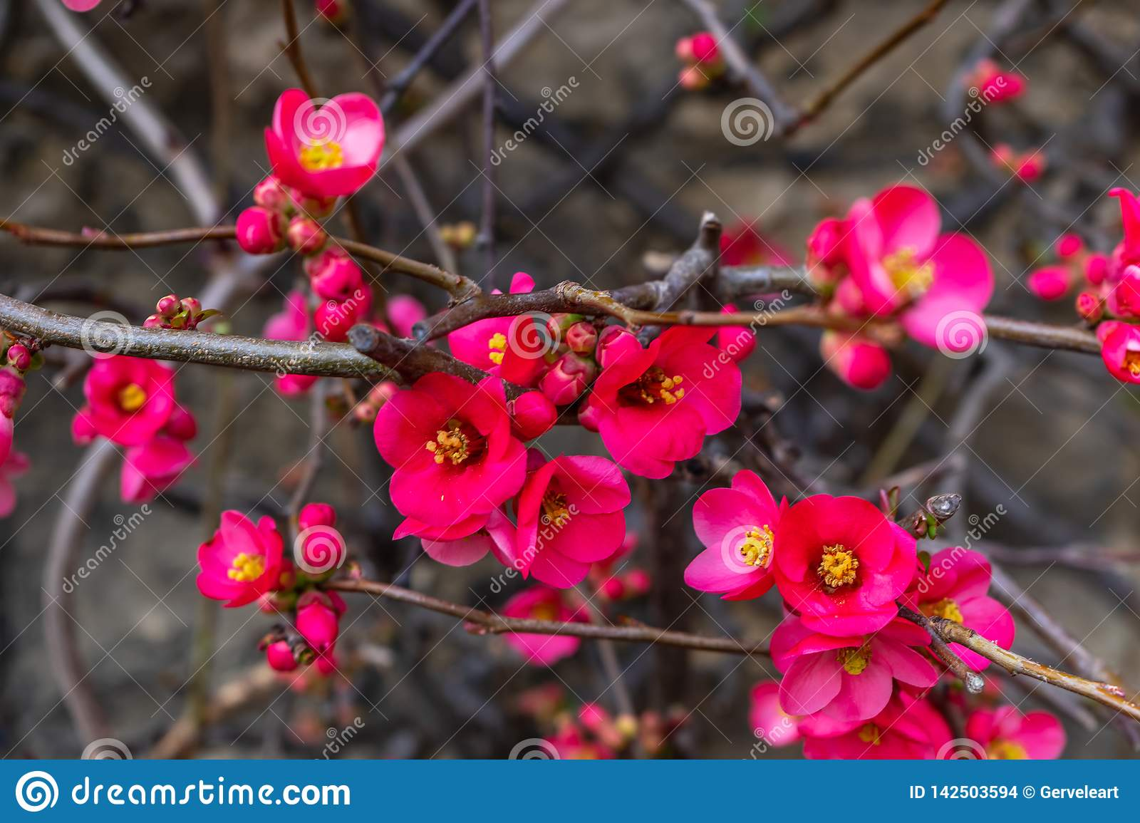 Blooming wild plum. Pink petal. Early spring in England.