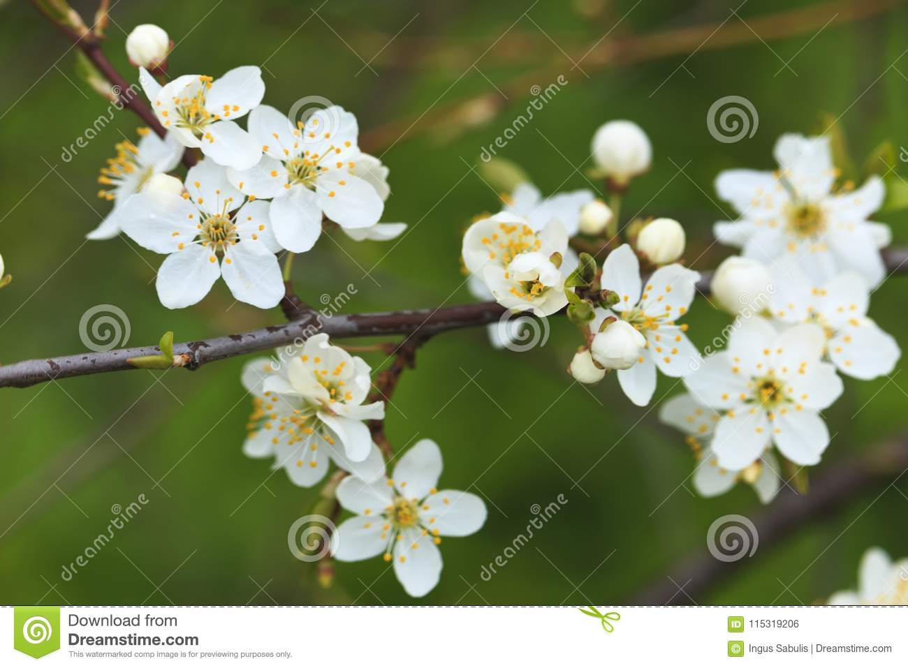 Blooming wild plum tree in daylight stock photo image of beauty blooming wild plum tree in daylight white flowers in small clusters on a wild plum tree branch mightylinksfo