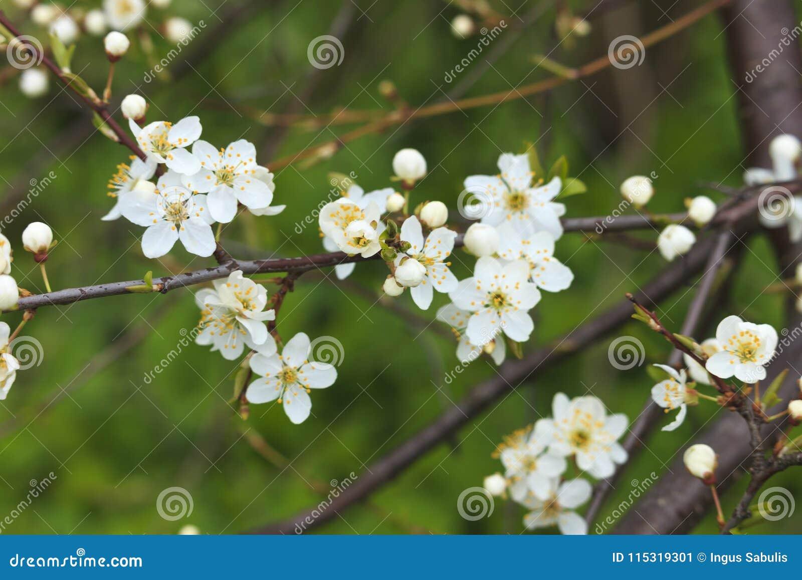 Blooming wild plum tree in daylight stock image image of blooming wild plum tree in daylight white flowers in small clusters on a wild plum tree branch mightylinksfo