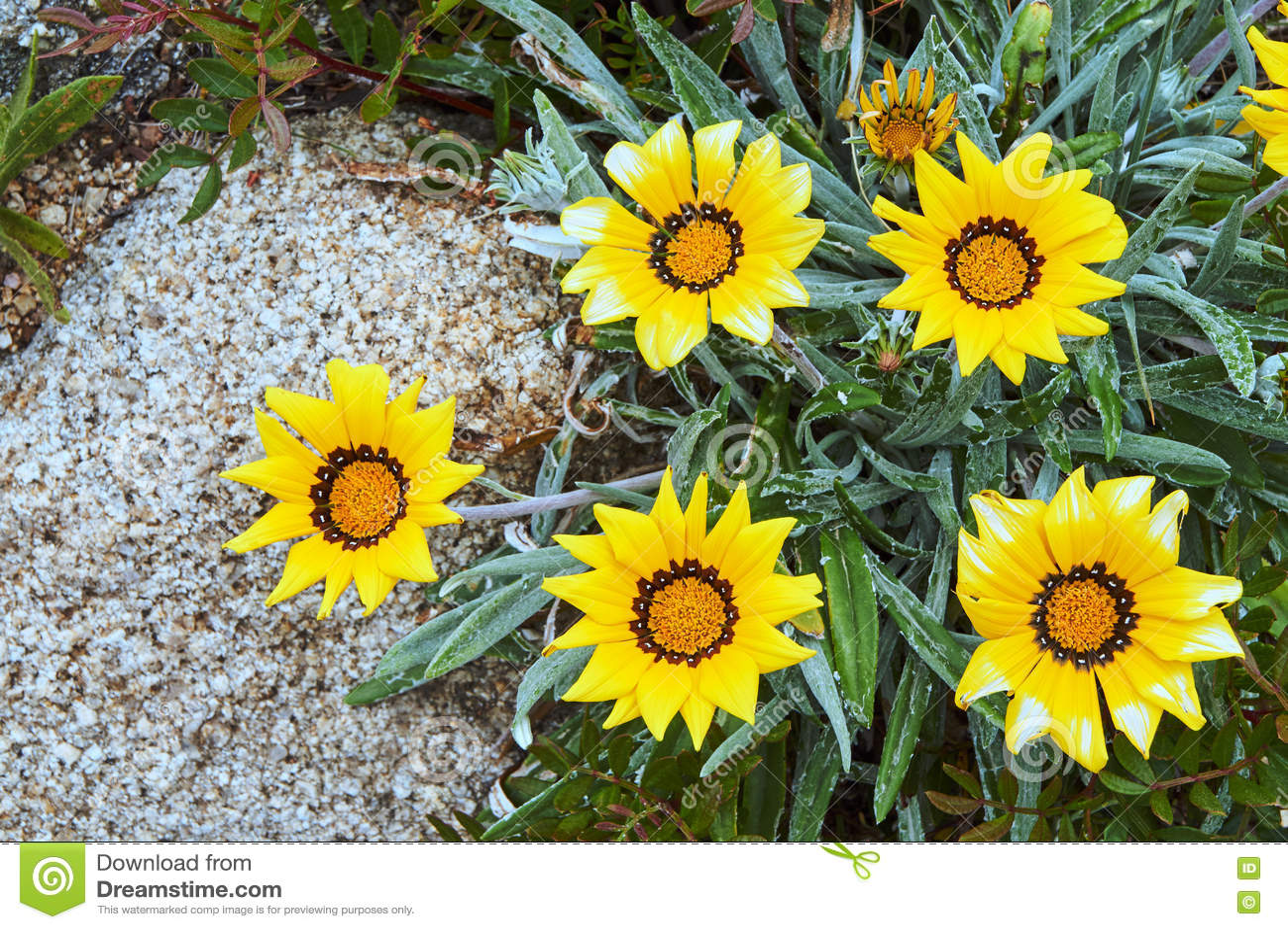 Blooming Yellow Flower Gazania Stock Image Image Of France