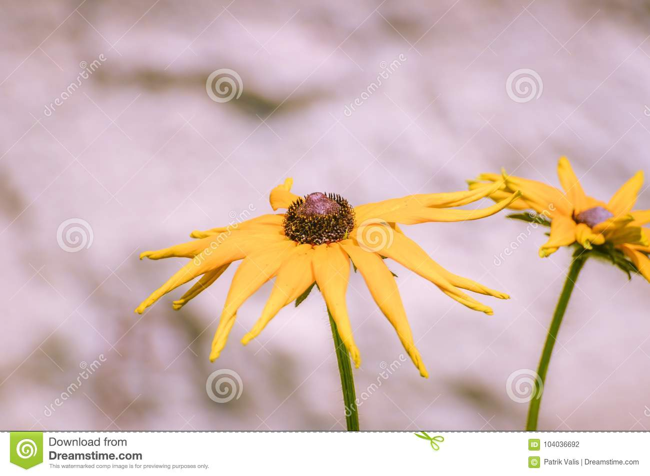Blooming Yellow Flowers With Black Center Stock Photo Image Of