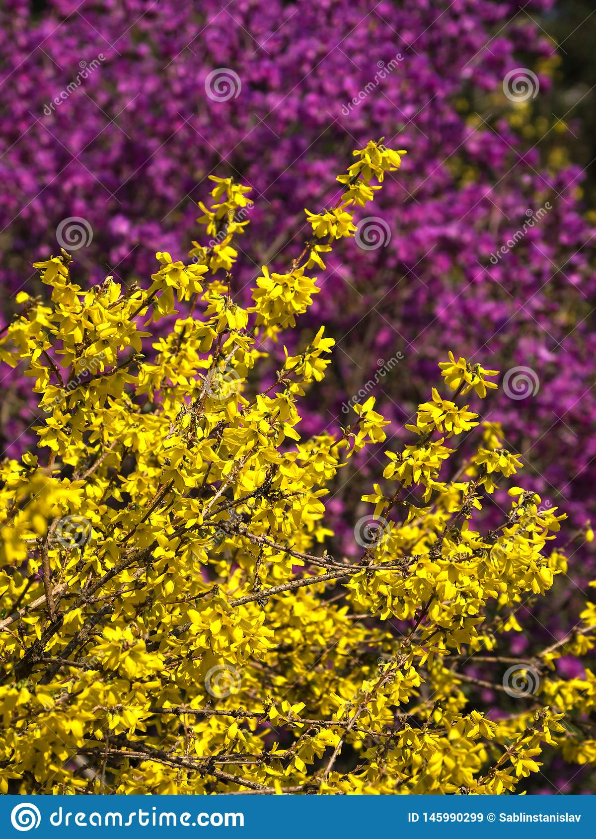 Blooming Yellow Forsythia On A Pink Background Stock Image
