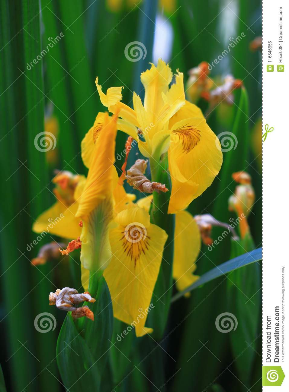 Blooming Yellow Iris Stock Photo Image Of Family Leaf 116546656