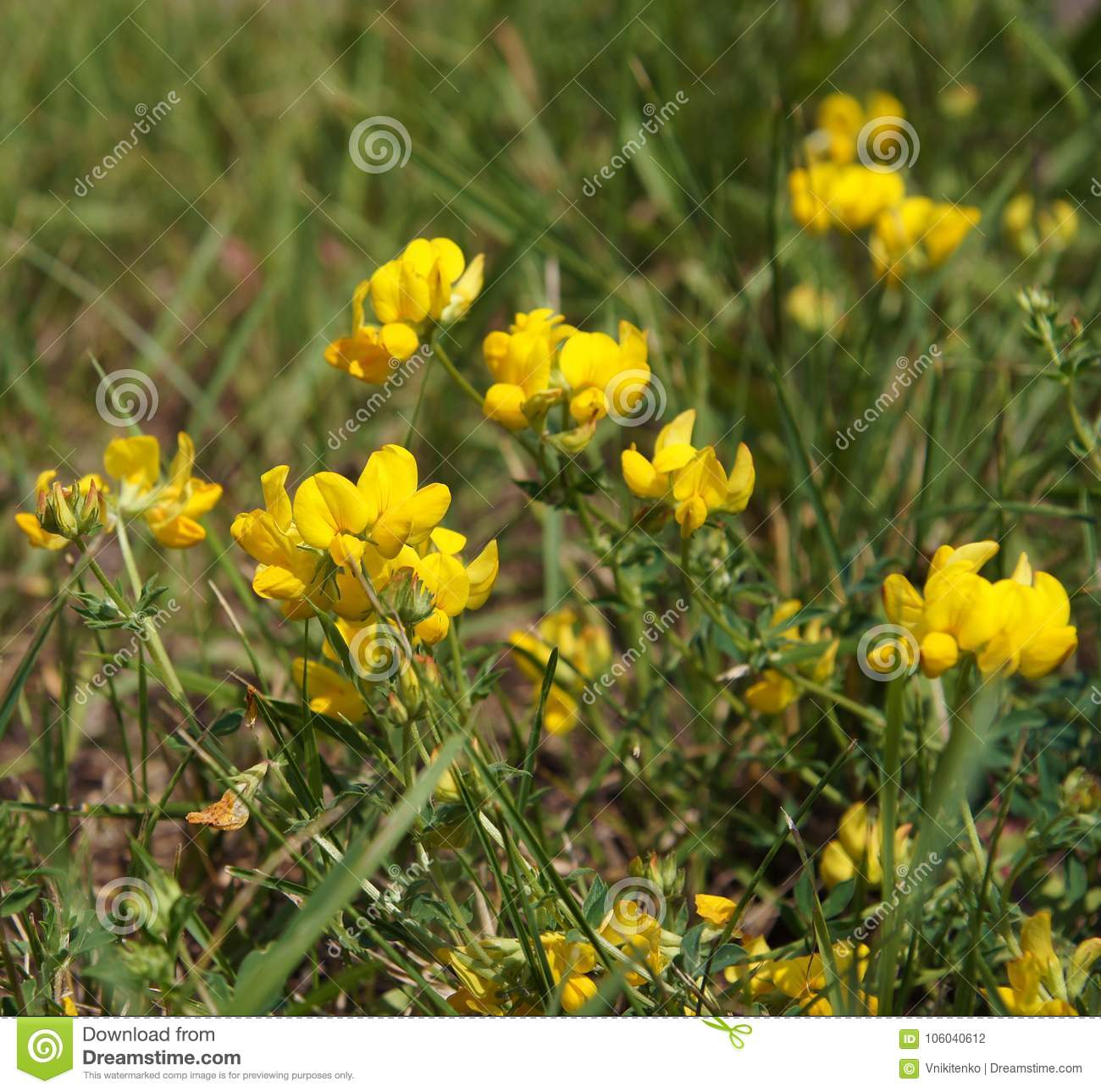 Blooming Yellow Lucerne Stock Photo Image Of Wild Medic 106040612