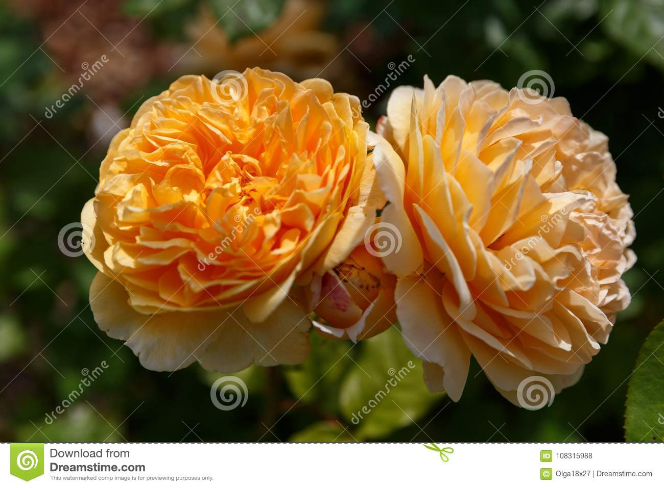 Blooming yellow orange english roses in the garden on a sunny day download blooming yellow orange english roses in the garden on a sunny day rose graham altavistaventures Images