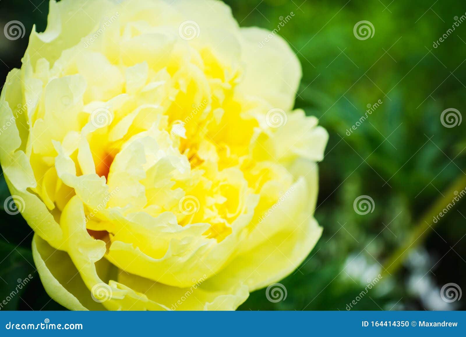 Blooming Yellow Peony Garden Treasure In The Garden Stock Photo