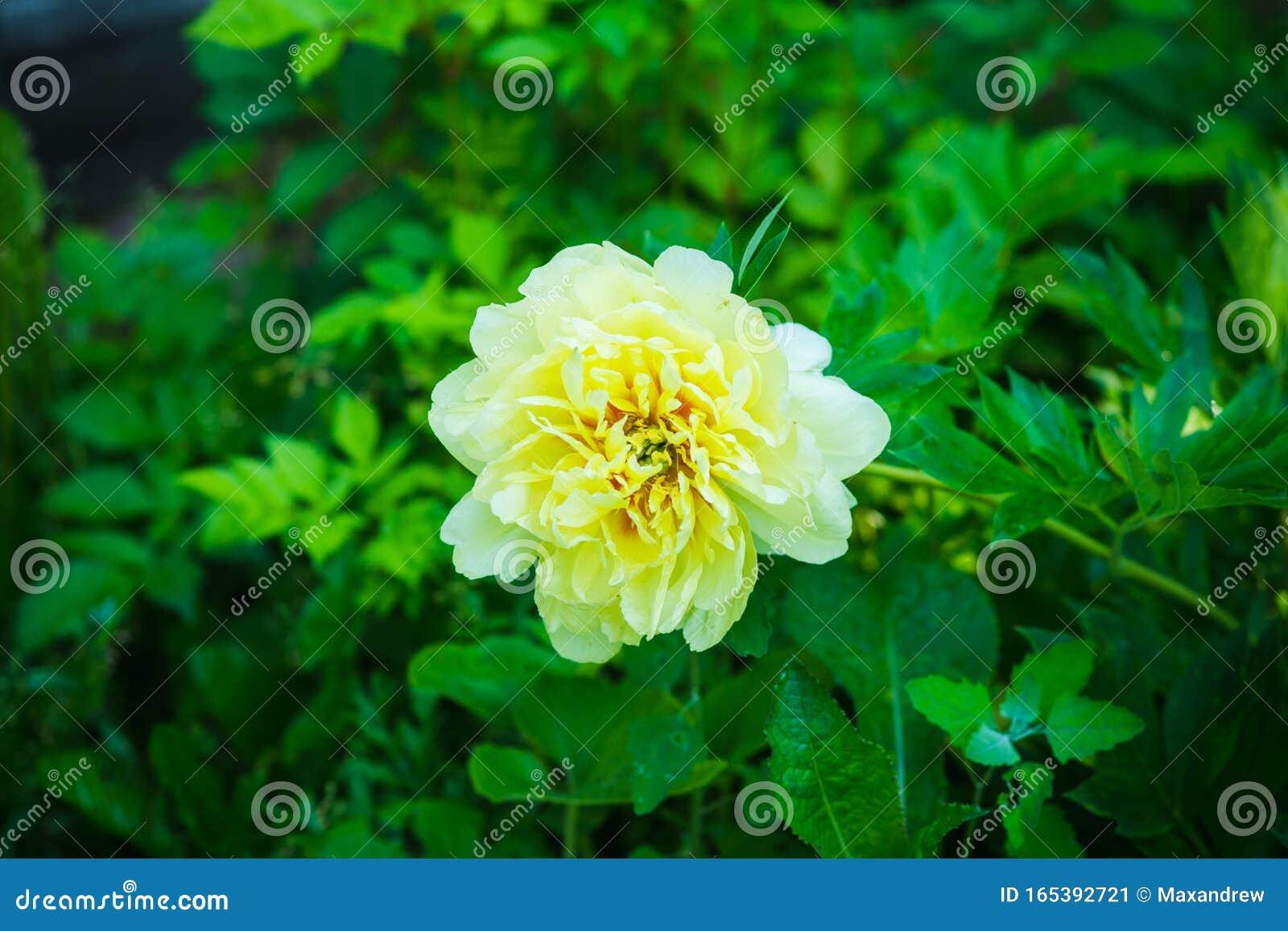 Blooming Yellow Peony Garden Treasure In The Garden Stock Image