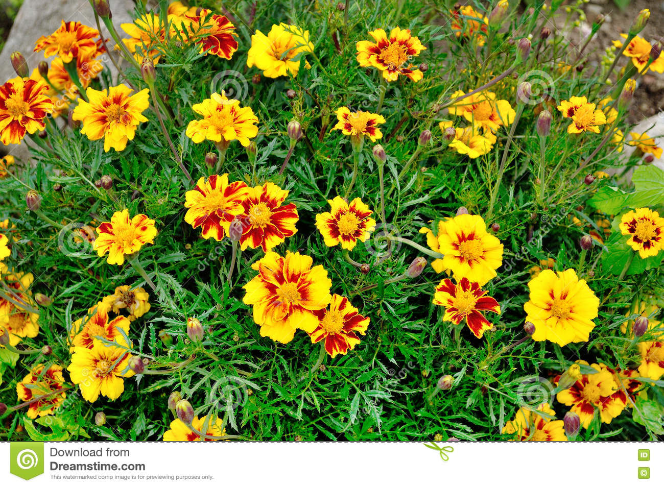 Blooming Yellow And Red Flowers Of Marigold In Summer Cloudy Day