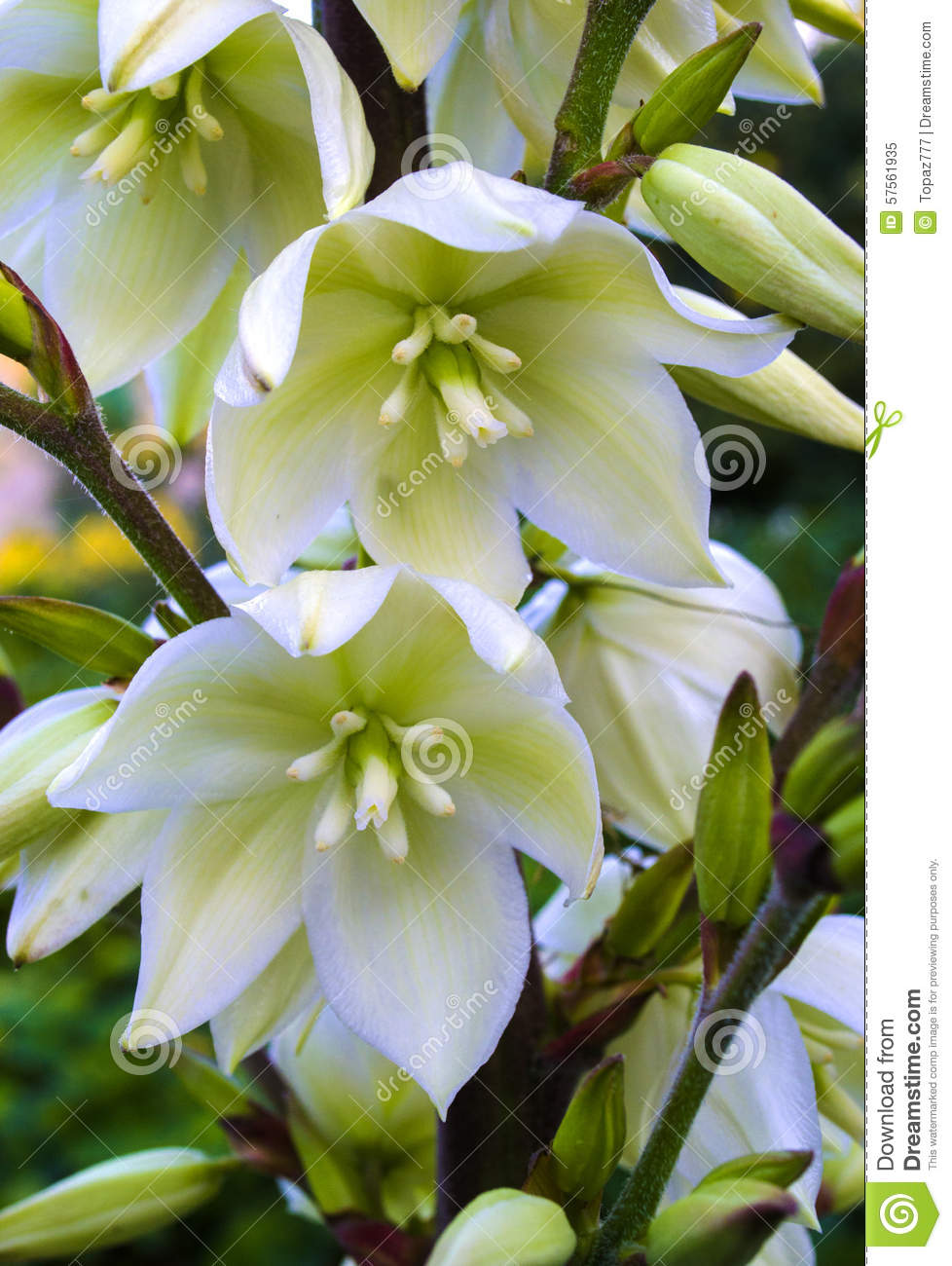 Bloom Flower 14 Inch Living Room Modern Decorative Wall Clock: Blooming Yucca Stock Photo