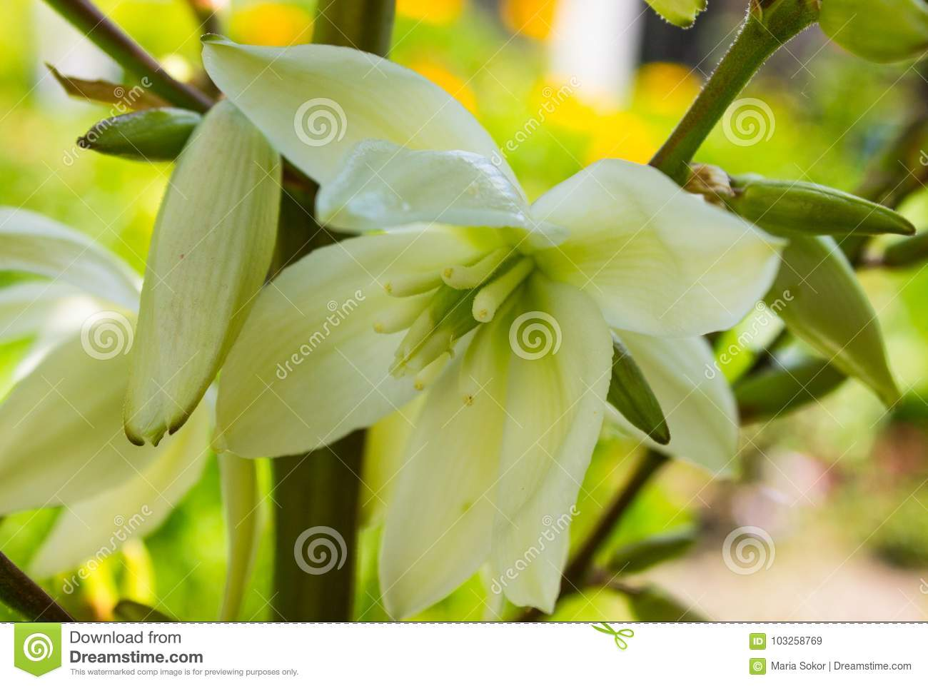 Blooming yucca plants growing in the street in tenerifecanary royalty free stock photo izmirmasajfo