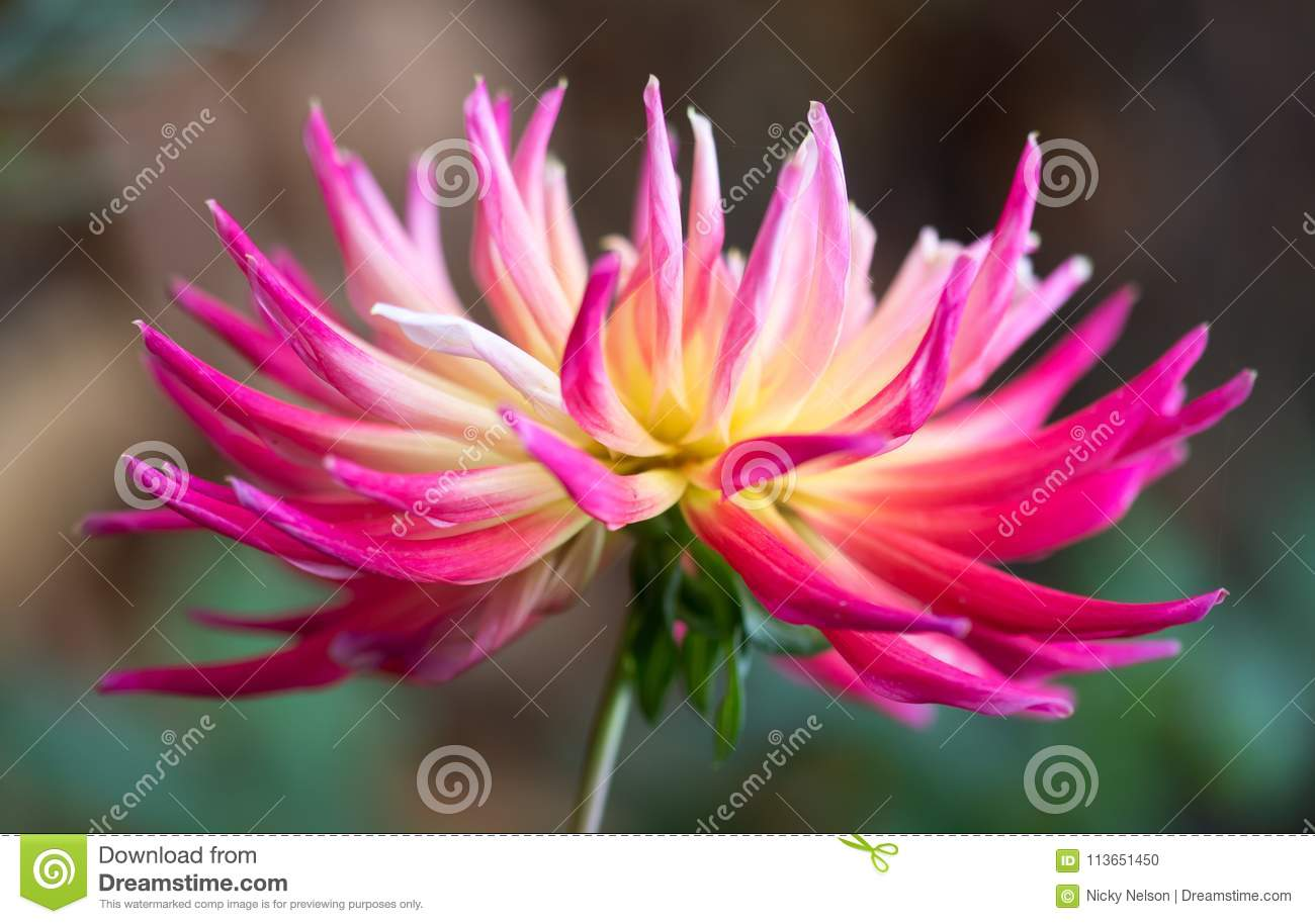 Bloomquist Dawn - Stekelige Dahlia