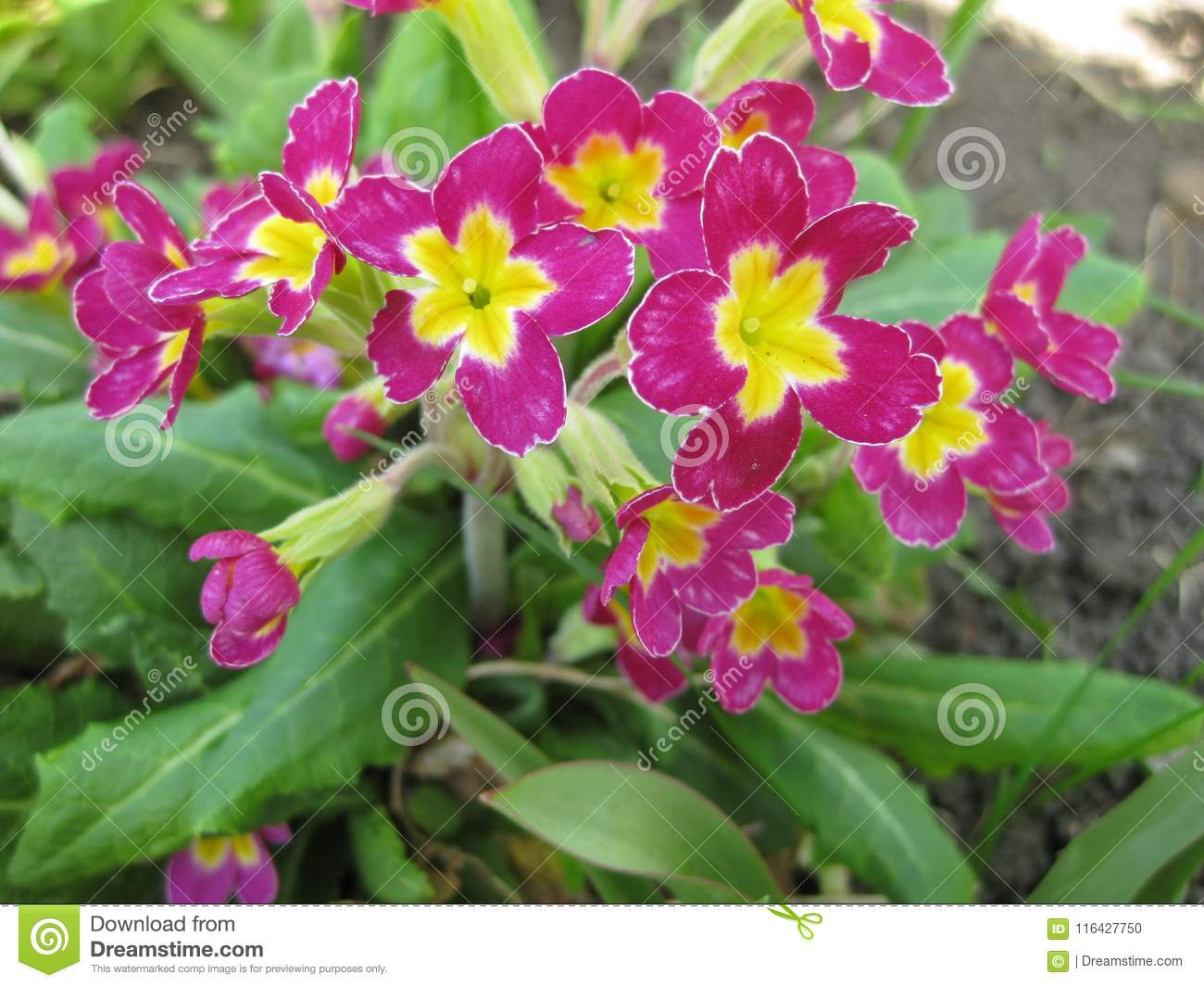 Blooms of primula with purple flowers closeup stock photo image blooms of primula with purple flowers closeup mightylinksfo