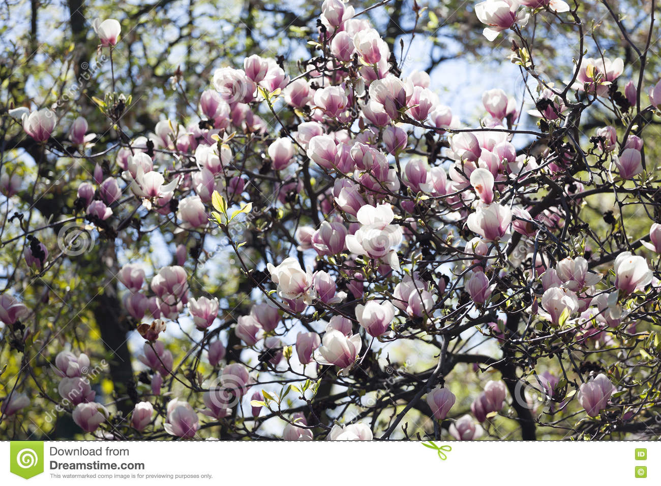 Bloomy Magnolia Tree With Big Pink Flowers Stock Photo Image Of