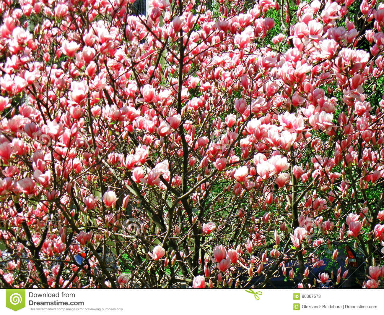 Bloomy Magnolia Tree With Big Pink Flowers Stock Image Image Of
