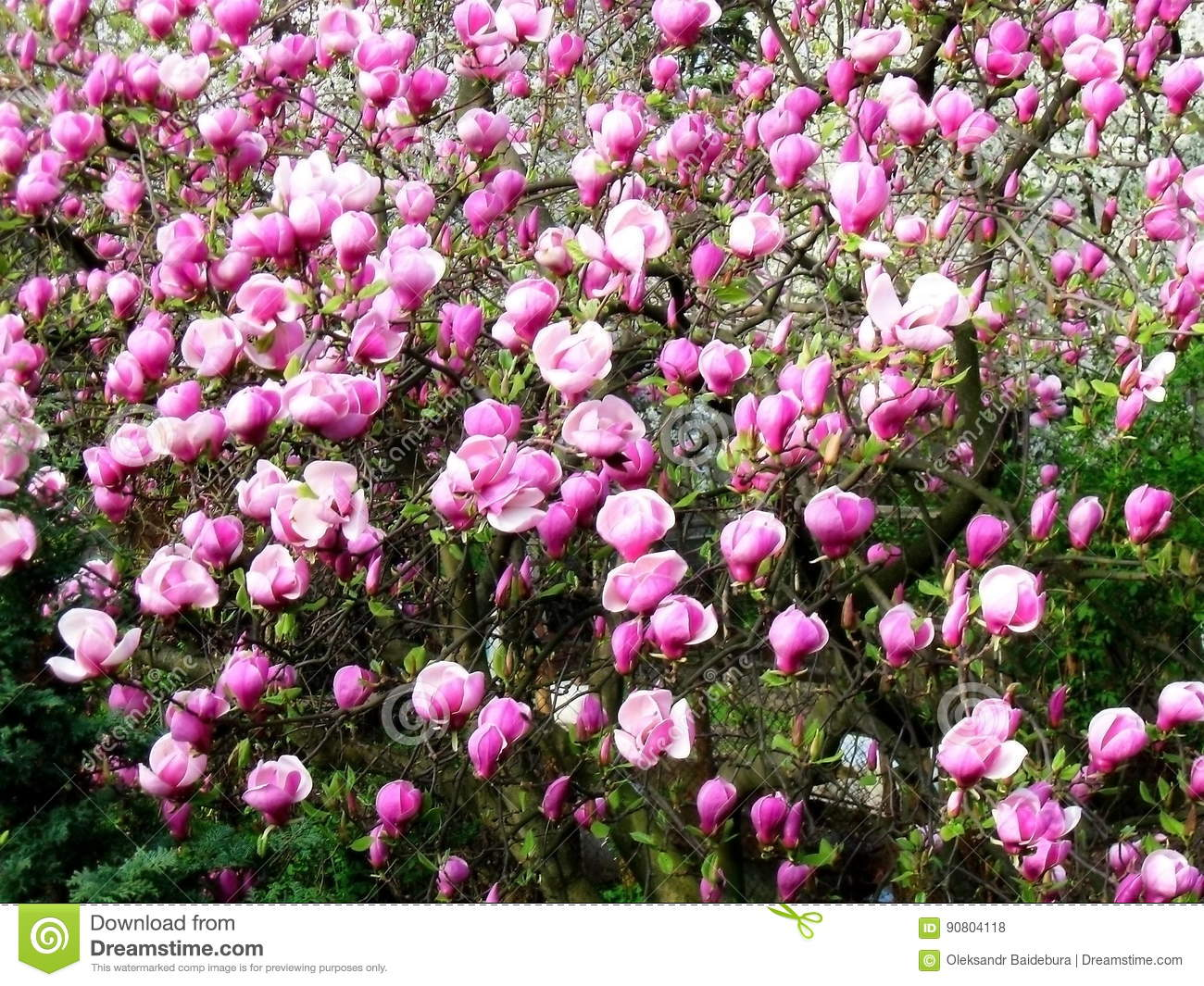 Bloomy magnolia tree with big pink flowers stock photo image of bloomy magnolia tree with big pink flowers mightylinksfo