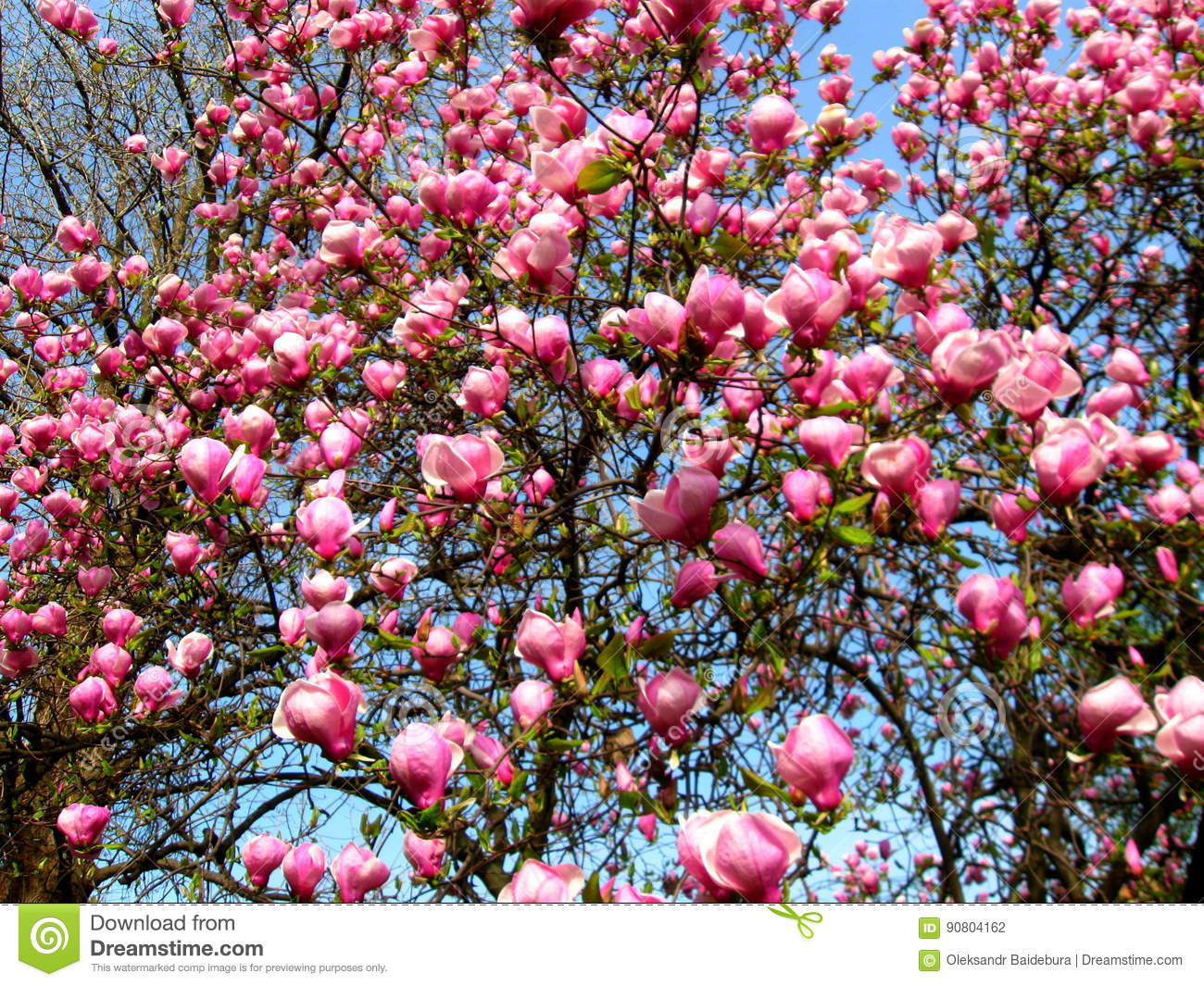 Bloomy magnolia tree with big pink flowers stock photo image of download bloomy magnolia tree with big pink flowers stock photo image of cultivation background mightylinksfo
