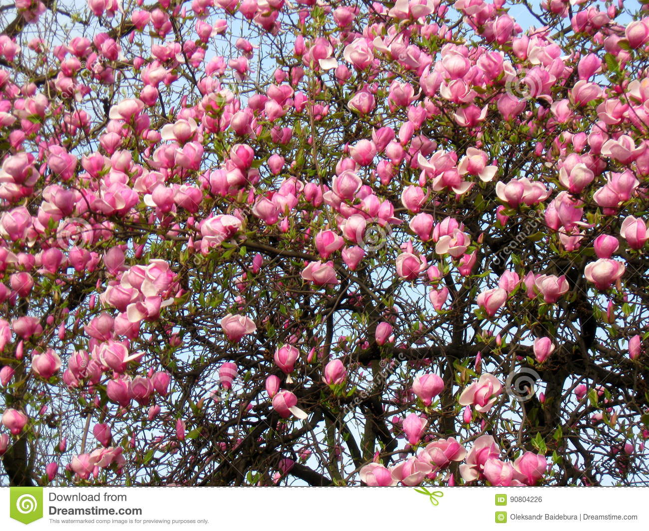 Bloomy magnolia tree with big pink flowers stock photo image of download bloomy magnolia tree with big pink flowers stock photo image of fragrance floral mightylinksfo