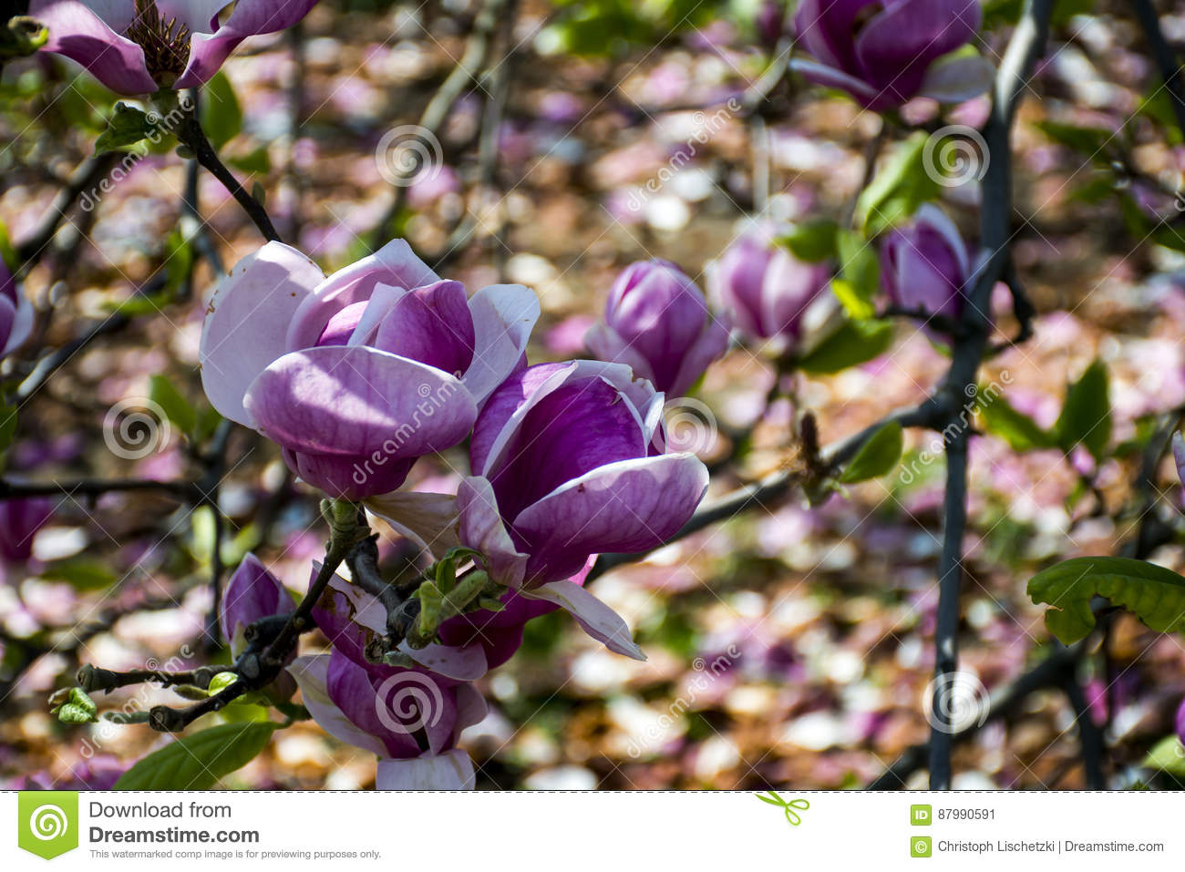 Bloomy magnolia tree big pink flowers blossom stock image image of bloomy magnolia tree big pink flowers blossom mightylinksfo