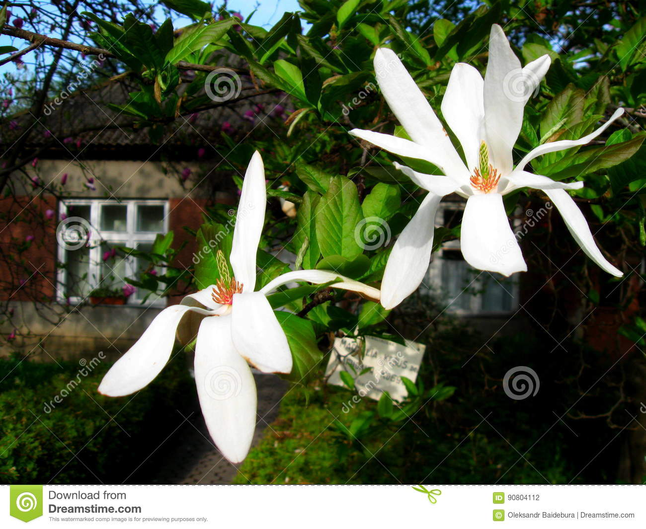 Bloomy magnolia tree with big white flowers stock photo image of download bloomy magnolia tree with big white flowers stock photo image of closeup bright mightylinksfo