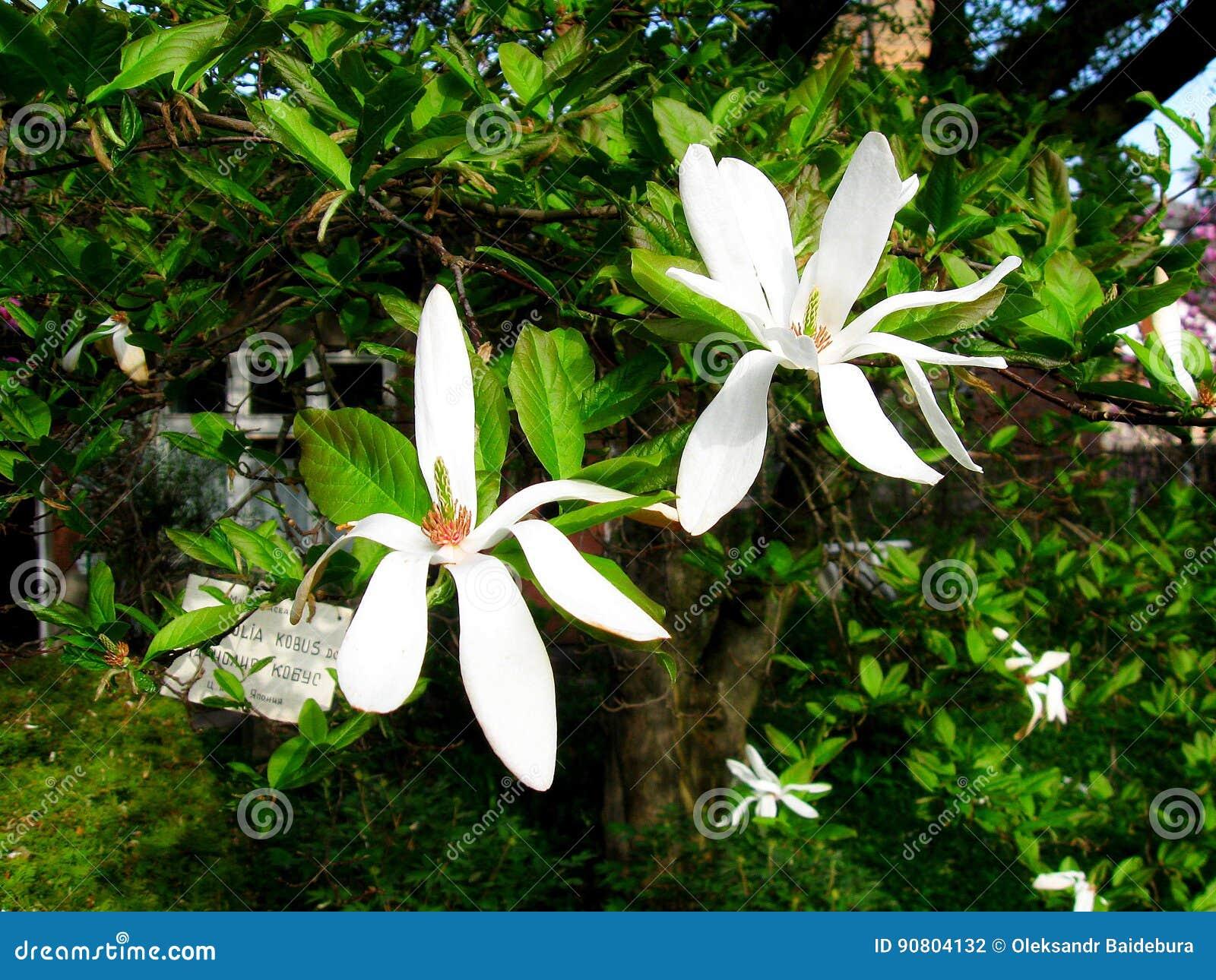 Bloomy Magnolia Tree With Big Whiteflowers Stock Photo Image Of