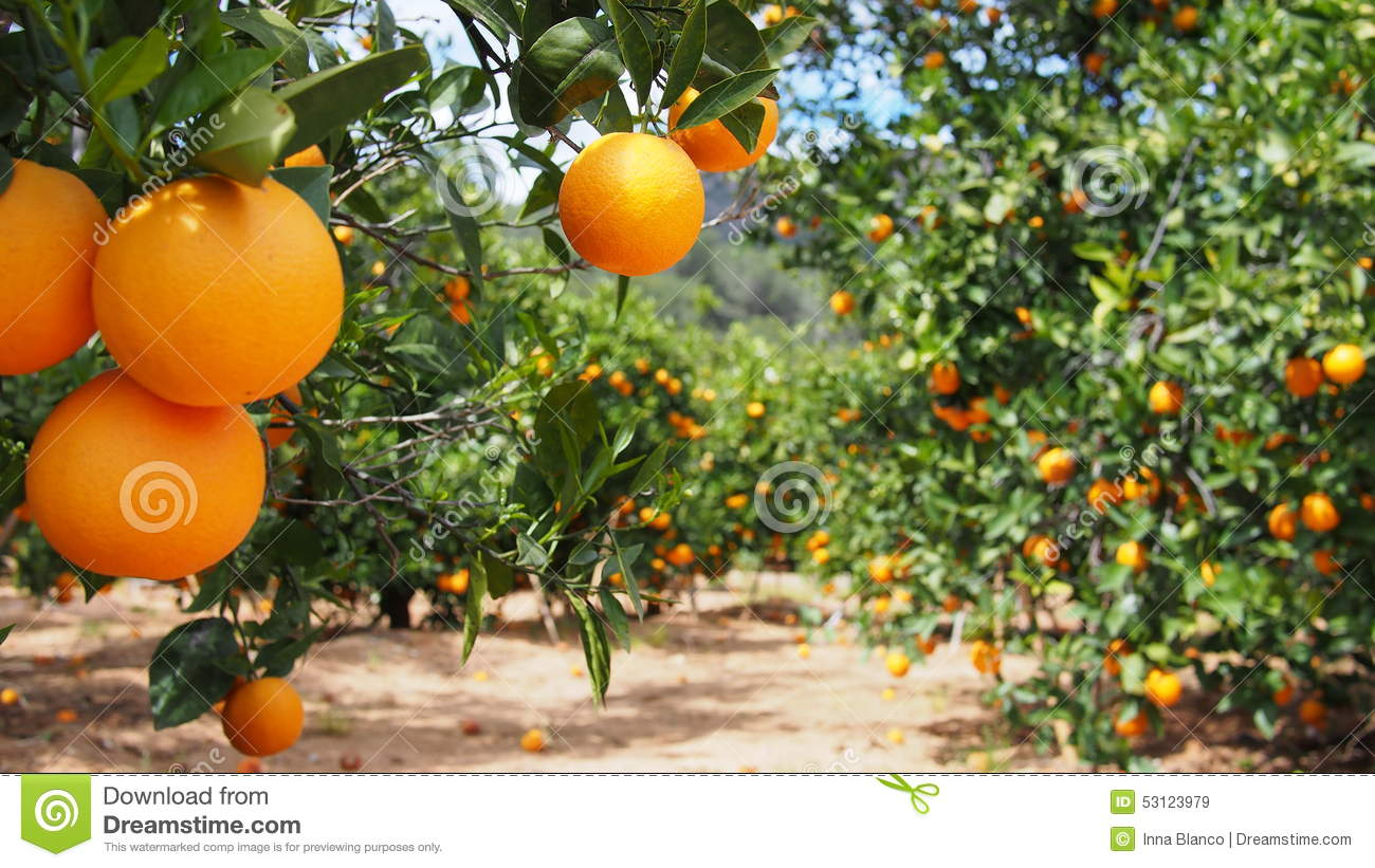 Bloomy orange tree and a mountain in Valencia, Spain