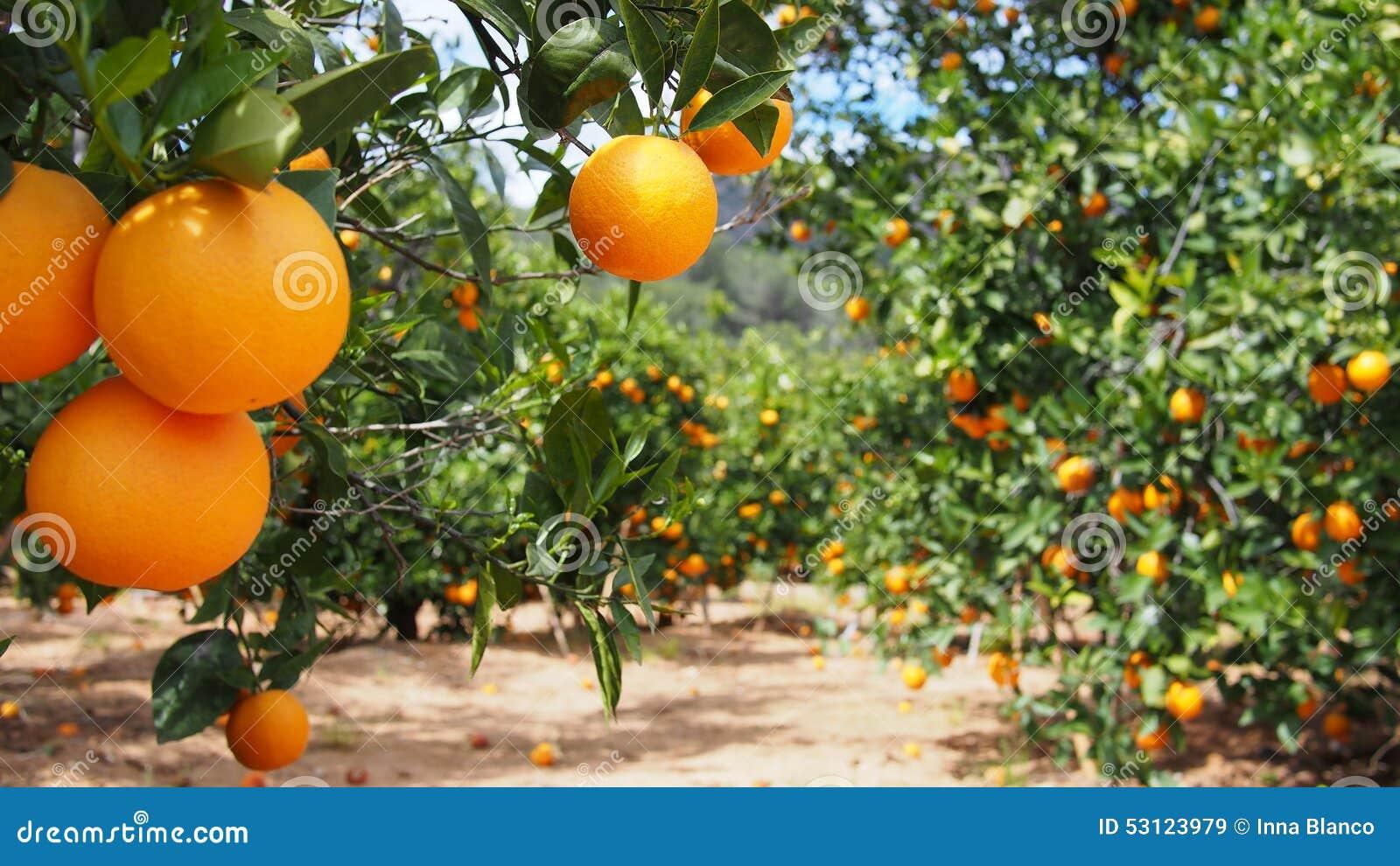 Bloomy Orangenbaum und ein Berg in Valencia, Spanien