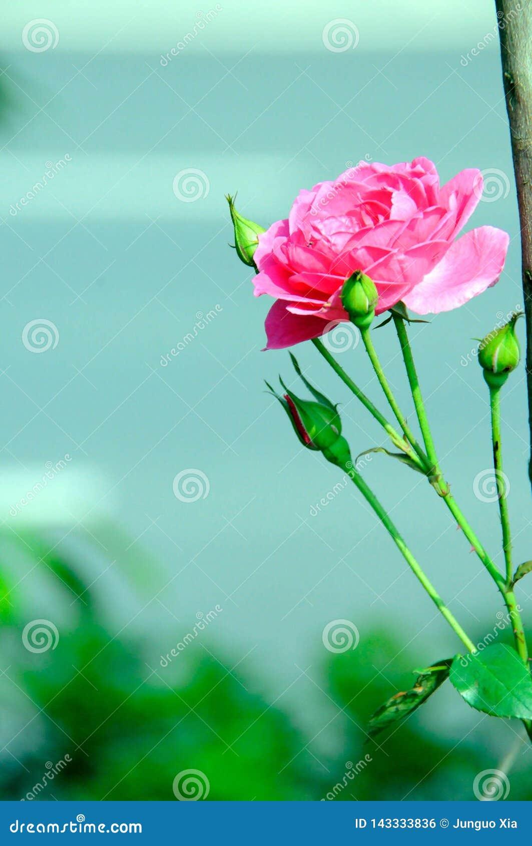 A bloomy peony flower