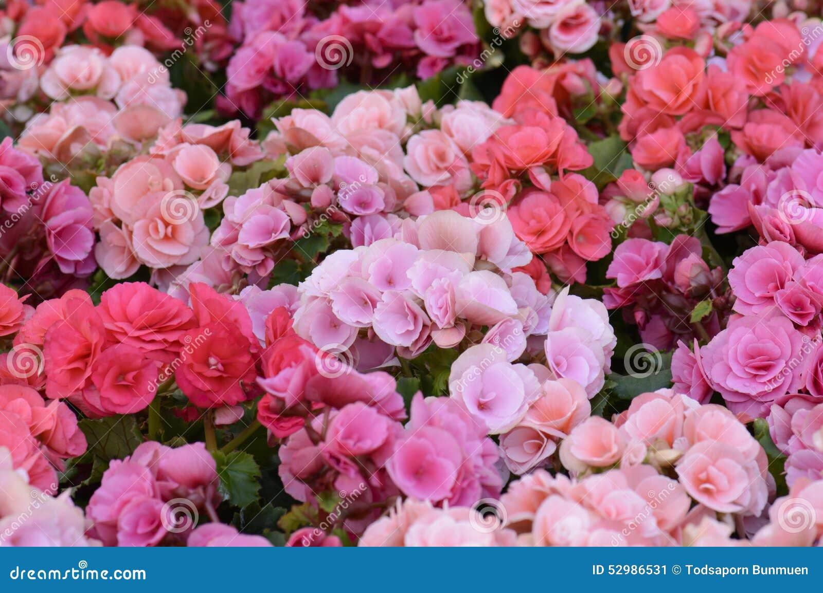 Blossfeldiana Rose De Kalanchoe Fleur De Flamber Katy Image Stock