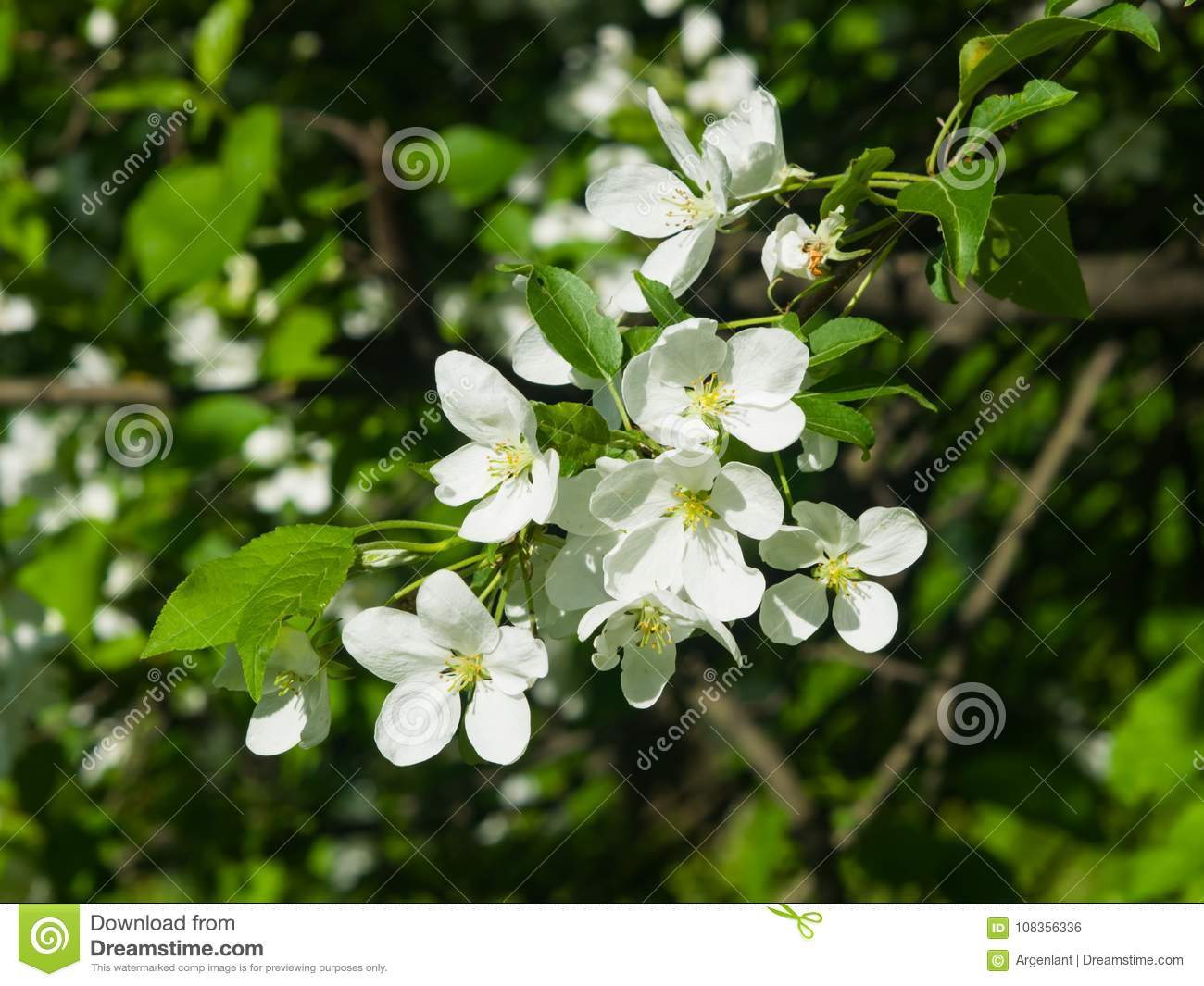 Blossom Of Apple Tree With White Flowers On Bokeh Background Macro