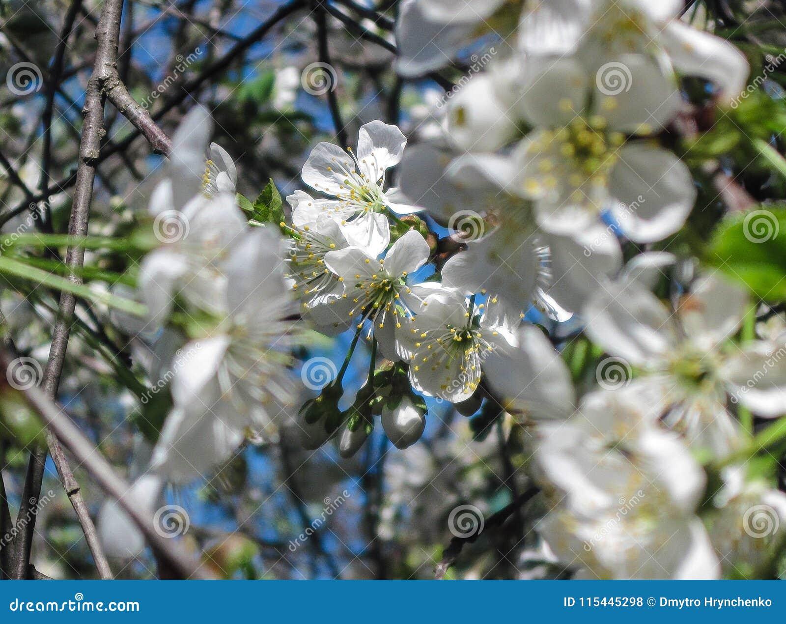 Blossom Bloom Of Cherry At Spring White Sakura Flowers On Sky