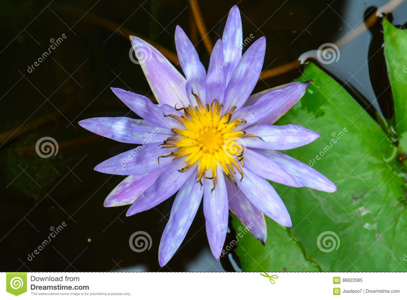 Blossom Blue Lotus Flower On The Water Stock Image Image Of Fresh