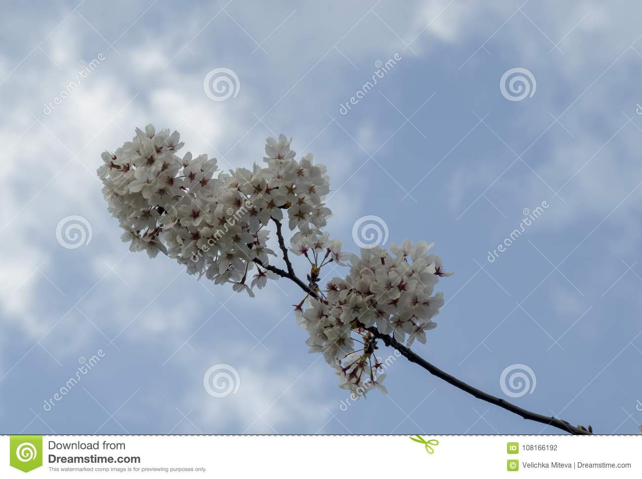 Blossom Japanese Cherry Branch Beautiful Spring Flowers For