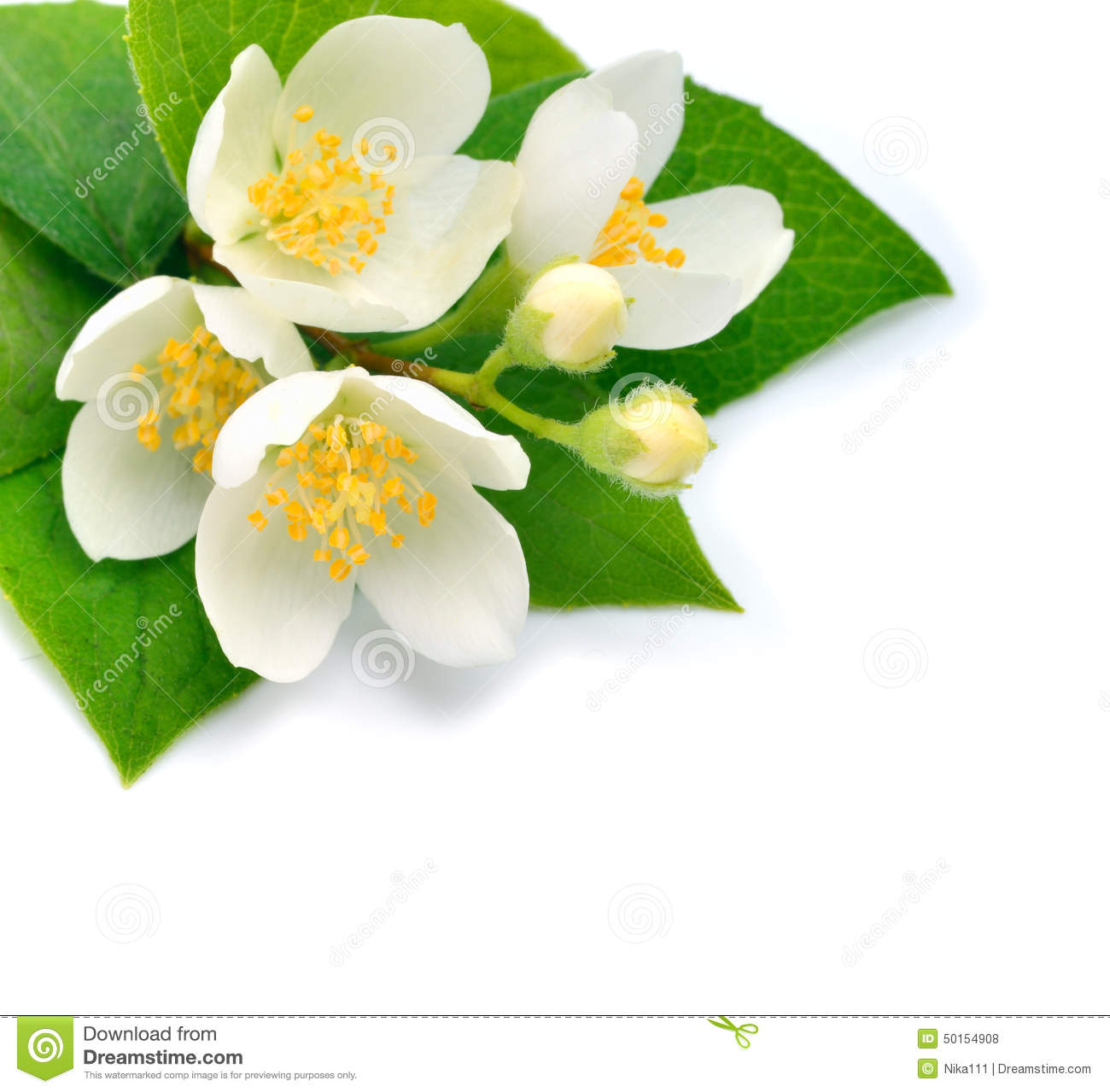 Blossom Of Jasmine Flower Isolated On White Stock Photo Image Of