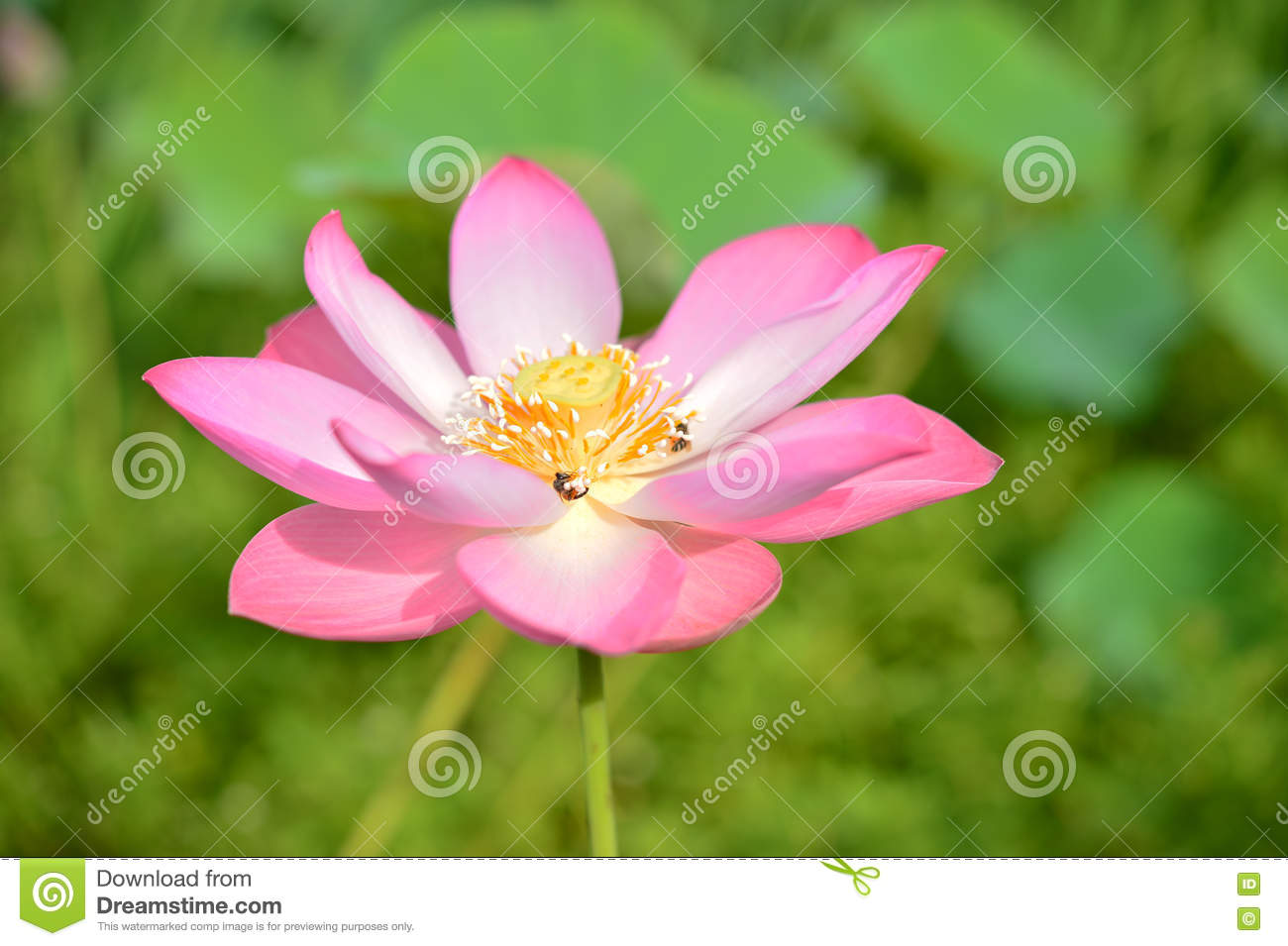 Blossom Lotus Flower Beautiful Lotus Flower In The Morningpink