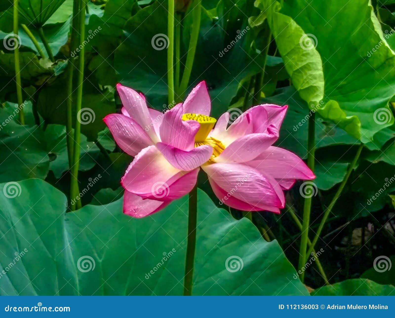 Blossom Lotus Flower In Japanese Pond Focus On Flower Stock Image
