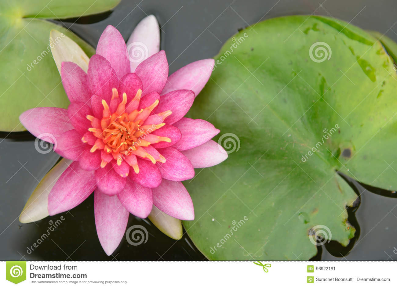 Blossom Lotus Flower In Thailand Stock Image Image Of Waterlily