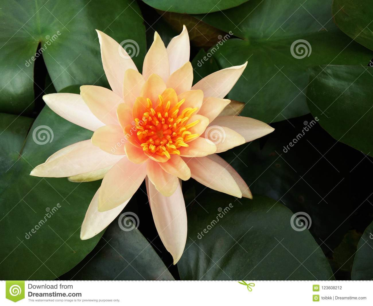 Blossom orange lotus flower or water lily and blurred green leaves download blossom orange lotus flower or water lily and blurred green leaves background stock photo izmirmasajfo