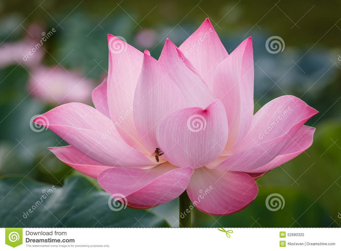 The Blossom of Pink Lotus with The Bee