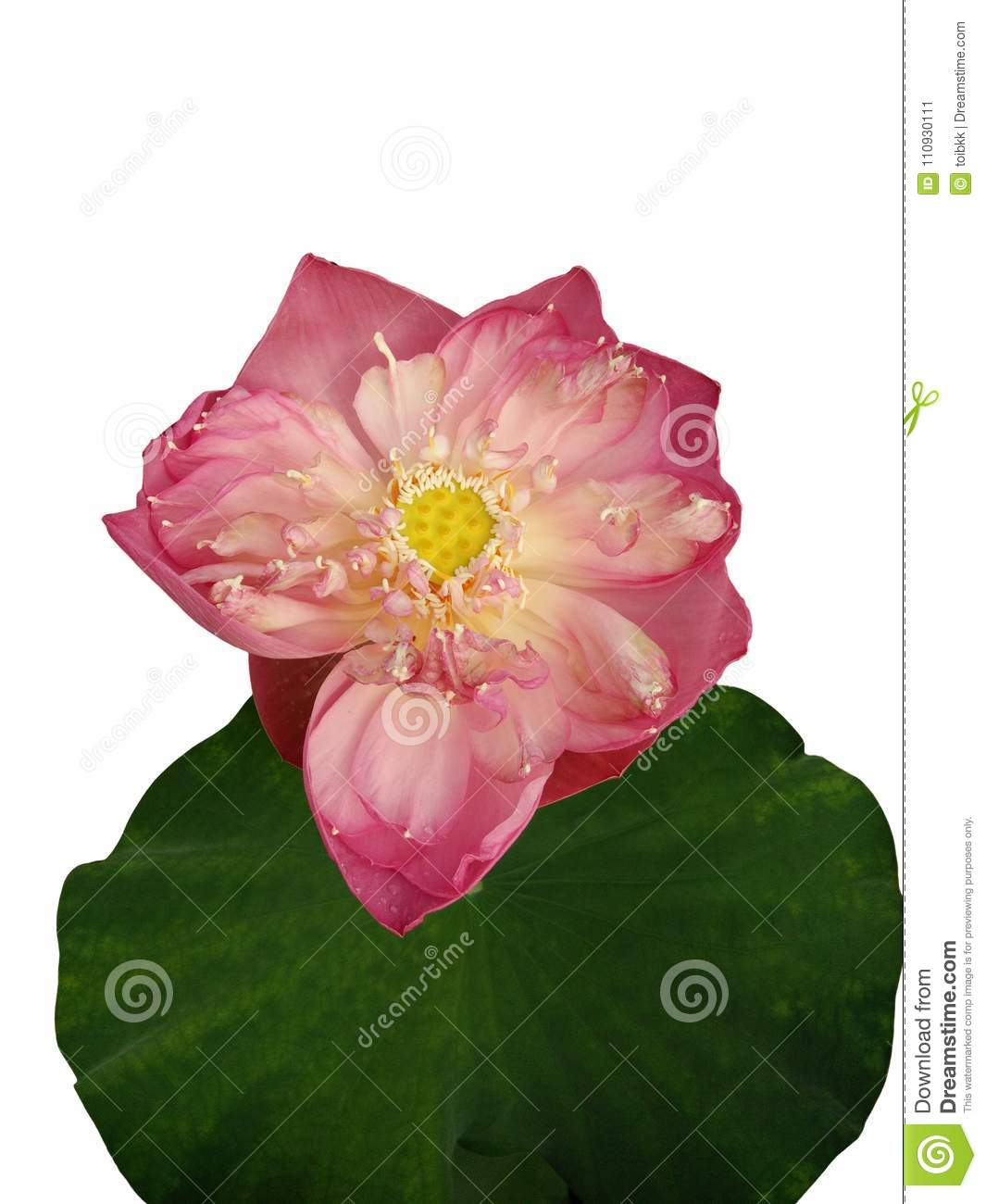 Giant Pink Lotus Flower And Leaf Stock Image Image Of Large